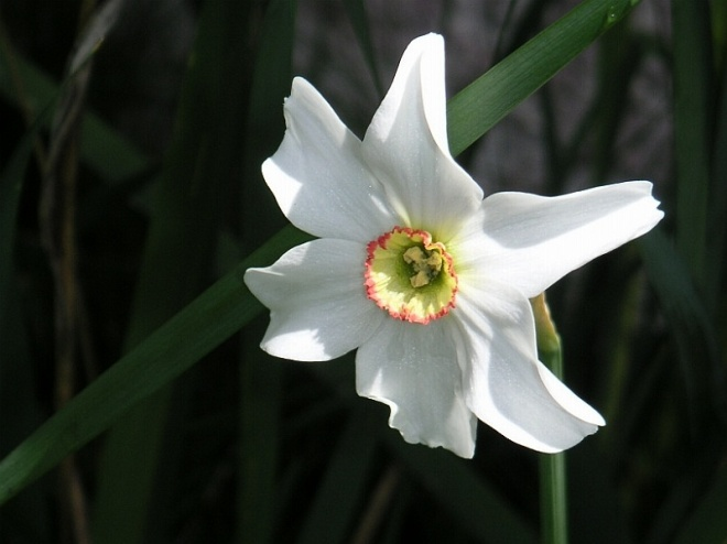Narcissus poeticus.jpg